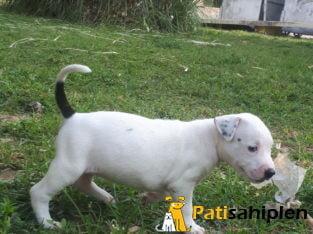Beyaz albino pitpull