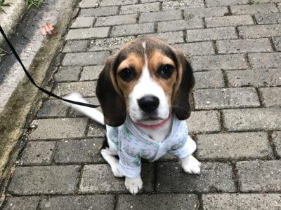Beagle Loya
