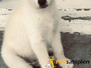 Sibirya kurdu husky