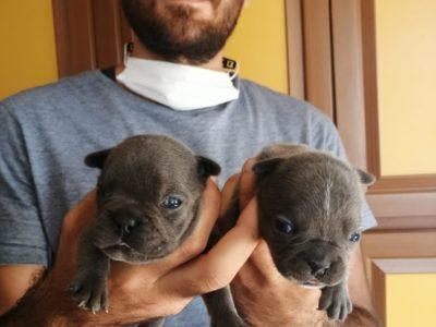 Blue French Bulldog Irk Garantili