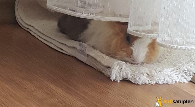 guinea Pig Tavşanı