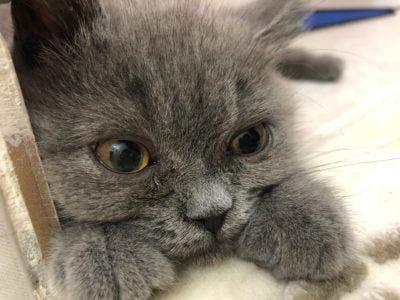 2,5-3 Aylik british short hair gri erkek kedi
