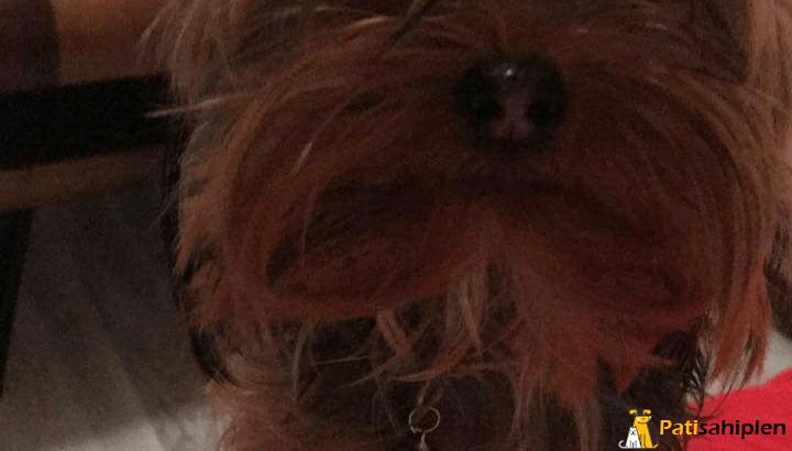 Teacup yorkshire terier yavrulari