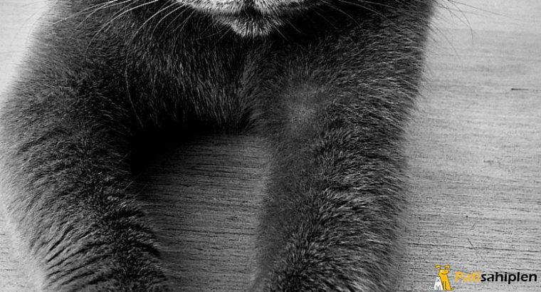 Safkan British Shorthair 2.5 yaşında