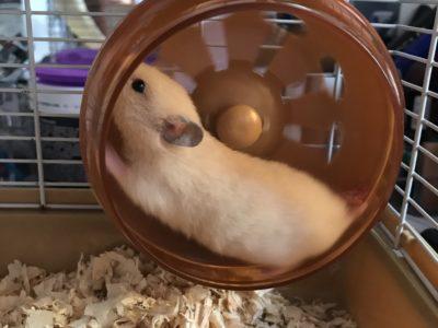 1 aylık erkek yavru Suriye hamster