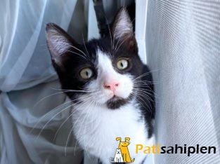 Çok iyi huylu Tuxedo (Smokin) yavru kedi