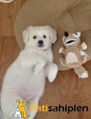 Terrier yavru