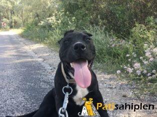 7 aylık siyah pitbull