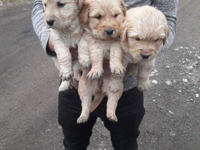 Golden British Yavruları