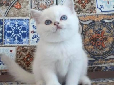 Safkan British Shorthair silver point