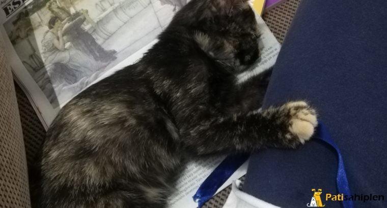 Dişi kedi sahiplendirme-İstanbul
