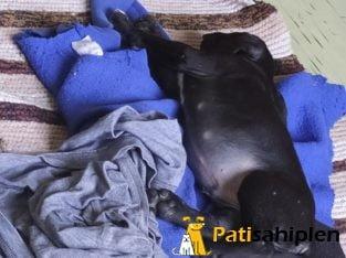 49 günlük pitbull