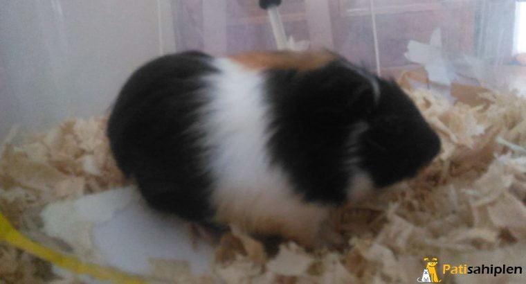 ücretsiz guinea pig