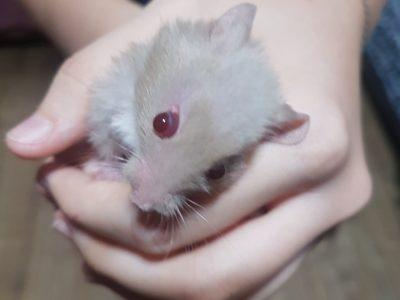 Evcil Suriye cinsi yavru Hamsterlar