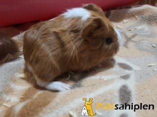 Sheltie guinea pigler