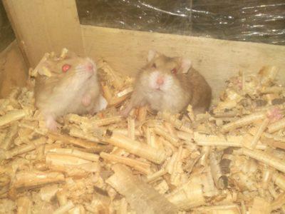 erkek gonzales hamsterlar