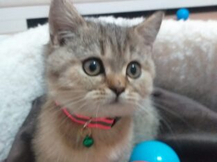 Britsh Shorthair Golden Taby Disi