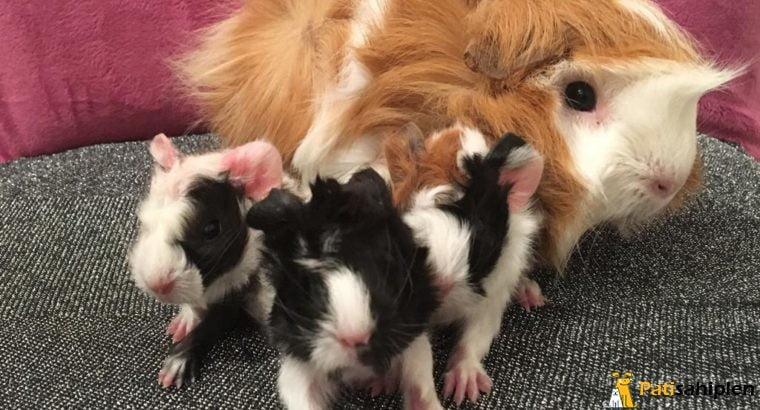 Sevimli Guinea pig `ler