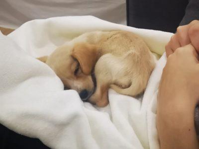 Cooker Terrier 2 Aylık Yavru