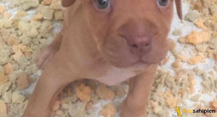 Pitbull Red Nose Oyuncu Yavrular