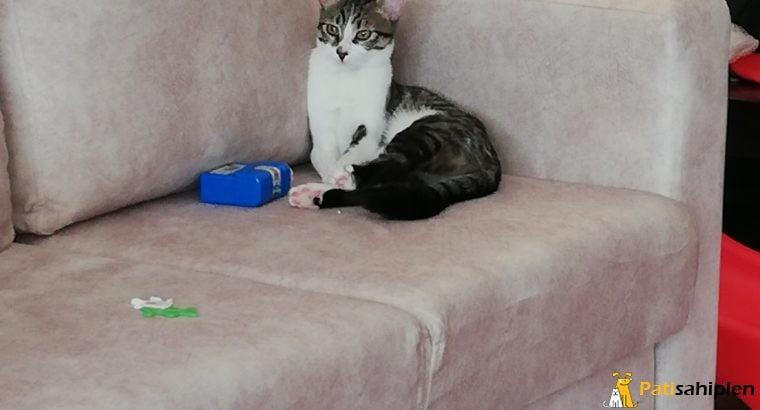 6 aylık dişi kedi