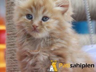 Orjinal İran kedisi