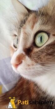 Dişi ,kısırlaştırılmamış kedimize yuva arıyoruz.