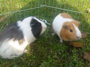 1 erkek 1 dişi guinea pig ve 2 kafes yemlik suluk