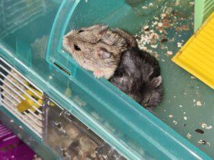 Rus Cüce hamster