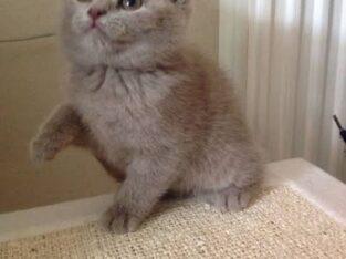 British Shorthair Dişi Yavru -2 aylık