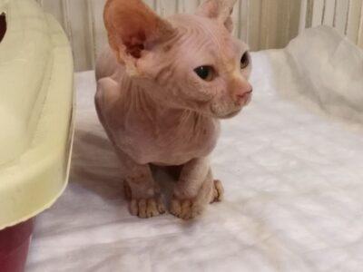 Yavru Sphynx kedi