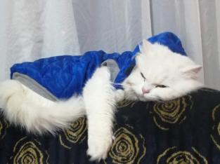 İran kedisi yavruları