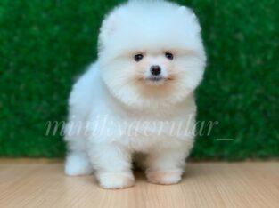 Safkan Ayi Surat Pomeranian Boo Yavrularimiz