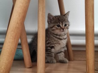 British yavru kedi