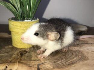 RAT YAVRULARI