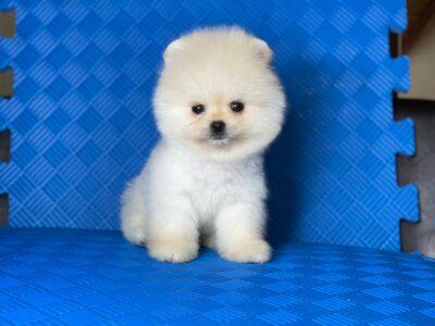 Safkan Pomeranian Boo Yavrumuz