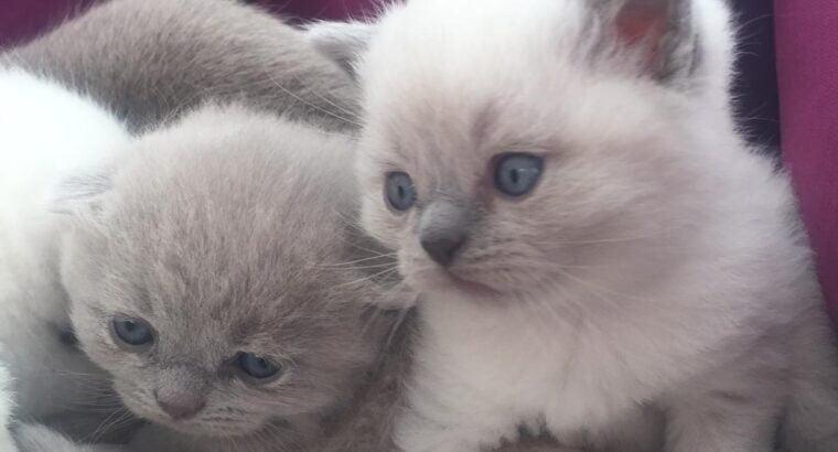 1.5 aylık biritish yavrular