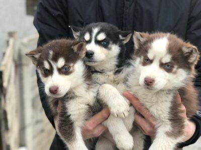 Orijinal sibirya kurdu (husky) yavruları