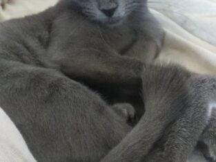 scottish russian blue kırması kızımız