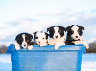 Aile köpeği en zeki ırk Border Collie Yavrularımız