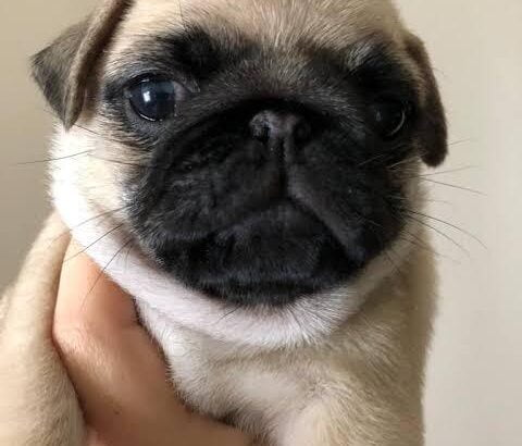 Pug Mops 0
