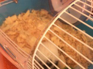 Gonzales hamster