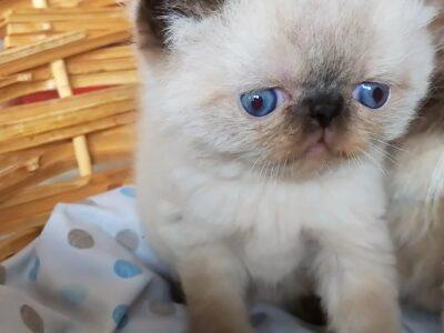 Safkan exotic shorthair kalıcı mavi göz
