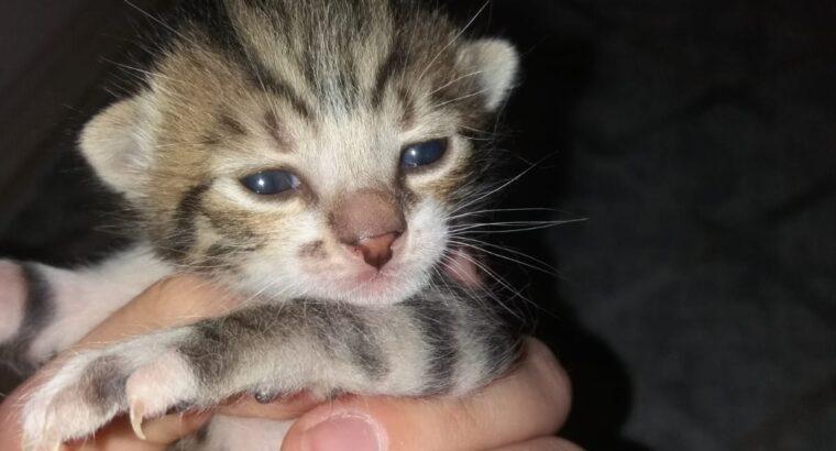 3 tane bebek tekir kedi, mutlu bir yuva arıyorlar.