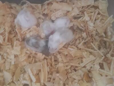 Ele alışık sevimli gonzales bebekleti