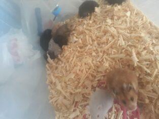 Ele alışık büyük ve yavru suriye hamsterları