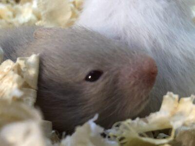 Aşı gerektirmeyen ele alışkın yavru Suriye hamster