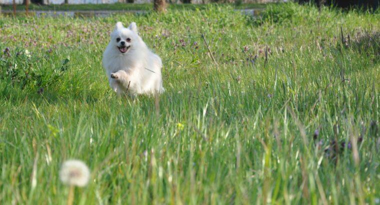 FCİ Evraklı Pomeranian