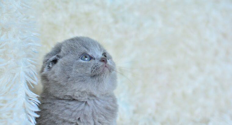 topaç kafa scottish fold yavrularımız