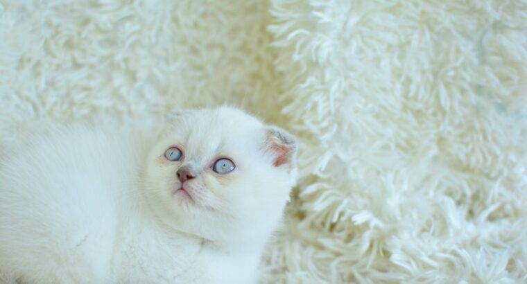 Blue point scottish fold yavrum ❤